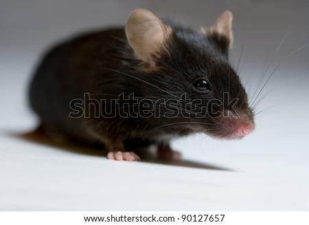 Black mouse, adult female - stock photo