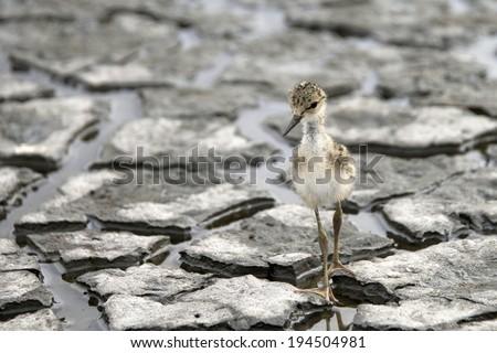 Black-necked stilt baby brand new hatchling - stock photo