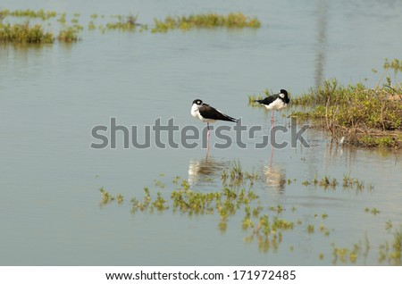 Black-necked Stilt, Himantopus mexicanus, feeding in the marsh land off of the Gulf of Mexico, near Corpus Christi, Texas - stock photo