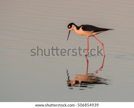 Black-necked stilt (Himantopus mexicanus) wading in tidal marsh at sunset, Galveston, Texas, USA