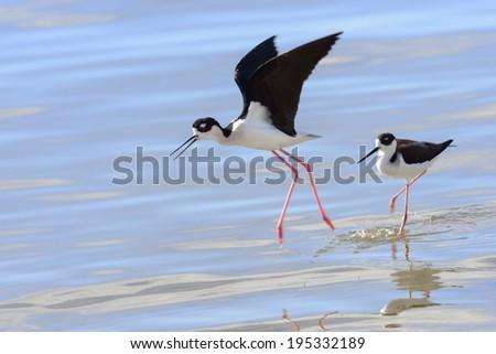 Black necked stilt in a marsh - stock photo