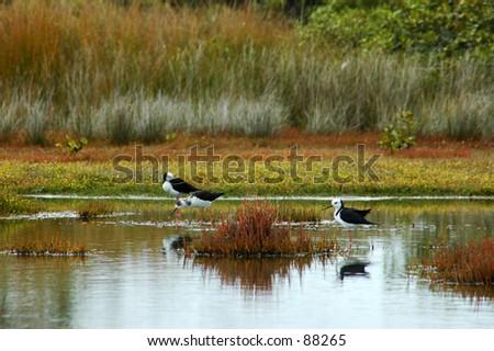 Black-Necked Stilts Forage in Pond, North Island, New Zealand - stock photo