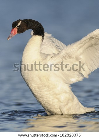 Black-necked Swan (Cygnus melancoryphus). Patagonia, Argentina, South America - stock photo