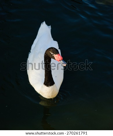 Black-necked swan swims  in the  dark water  - stock photo