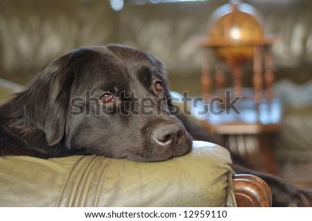 Black newfoundland dog - stock photo
