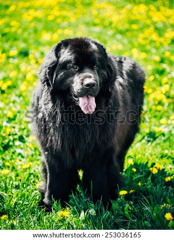 Black Newfoundland Dog Portrait In Summer Meadow. Outdoor Full Length Portrait On Green Grass Background - stock photo