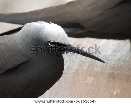 Black noddy or white-capped noddy (Anous minutus)