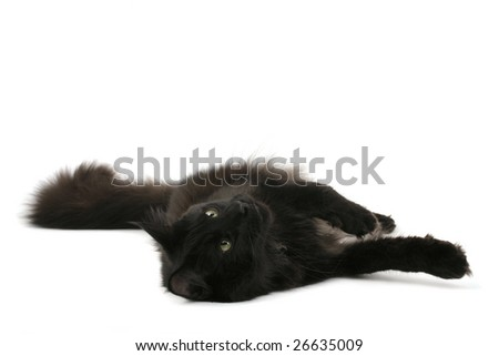 Black Norwegian Forest Cat lying on white background - stock photo