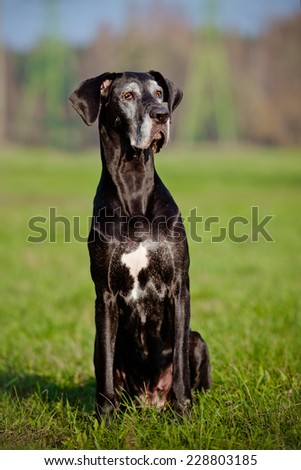 black old great dane dog outdoors