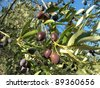 black olives on branch - stock photo