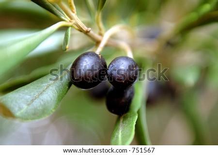Black Olives on branch - stock photo