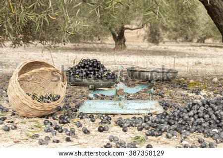 Black olives on the floor with a basket and a blue old fashioned balance - stock photo