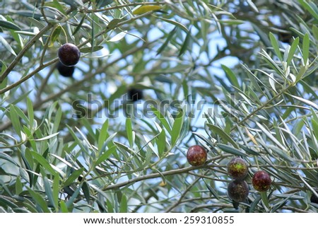 Black Olives on tree with soft focus background 1 - stock photo