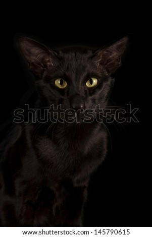 black oriental cat isolated over black background - stock photo