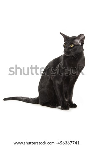 black oriental cat isolated over white background