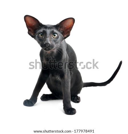 Black Oriental cat on white background - stock photo