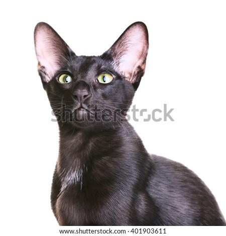 Black Oriental Shorthair Cat - stock photo