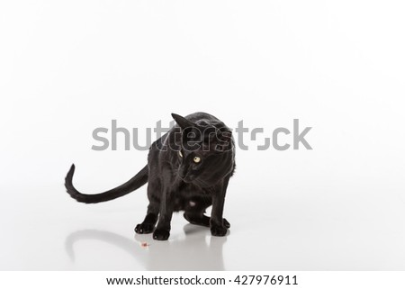 Black Oriental Shorthair Cat Sitting on White Table with Reflection. White Background. Food on the ground. - stock photo