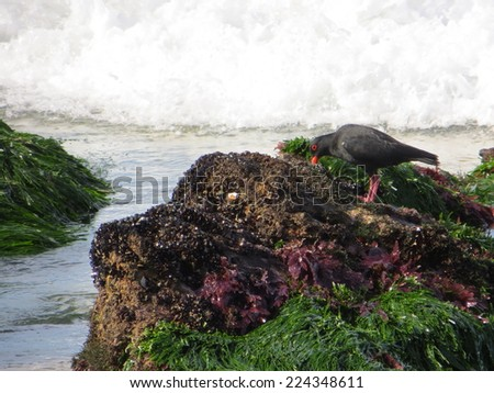 Black Oyster Catcher. - stock photo