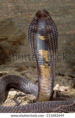 Black Pakistani cobra with his hood flared ready to attack - stock photo