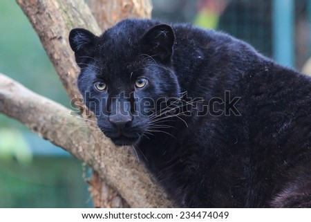 black panther close up - stock photo