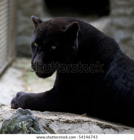 black panther in zoo - stock photo