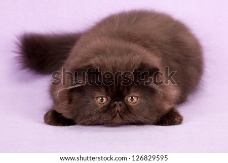 Black Persian kitten lying flat down on lilac purple background - stock photo