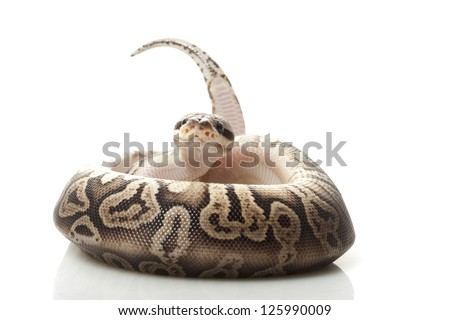 Black pewter ball python (Python regius) isolated on white background. - stock photo