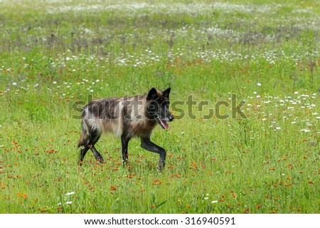 Black Phase Grey Wolf (Canis lupus) Trots Right Through Field - captive animal