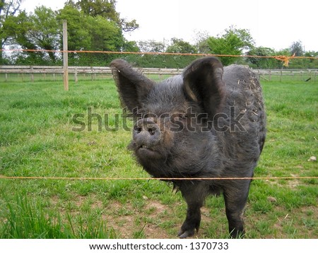 Black pig in a field - stock photo