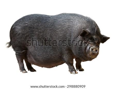 Black  pig  over white background - stock photo