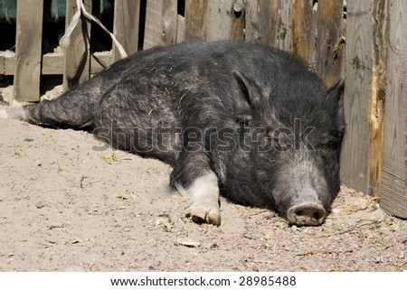 Black pig resting on the sun