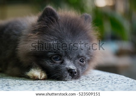 Black pomeranian dog on marble table on boken tree background, cute pet in home