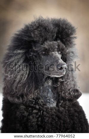 Black Poodle in outdore settings