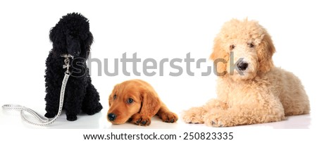 Black poodle puppy, Irish Setter puppy and a golden doodle dog, studio isolated on white.  - stock photo