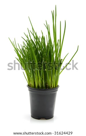 black pot with fresh chives isolated on white background