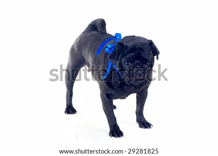 Black Pug with blue bow on neck