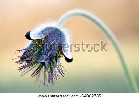 Black pulsatilla flower - stock photo