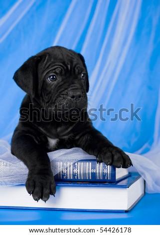 black puppy portrait on blue books - stock photo