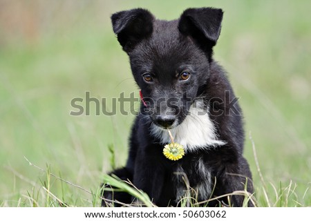 Black puppy with a yellow flower in his teeth. - stock photo
