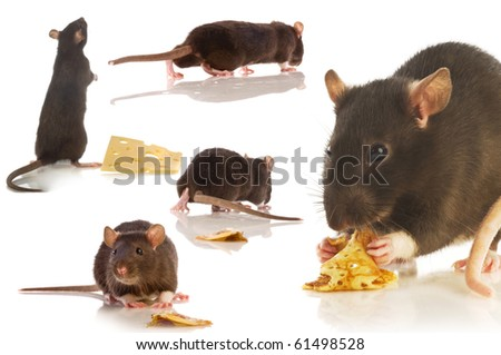 black rat isolated collage - stock photo