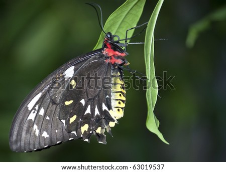 Black, Red, Yellow, and White Butterfly hanging on a leaf - stock photo