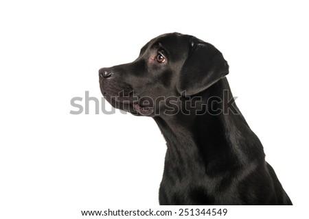 Black retriever, isolated on white - stock photo
