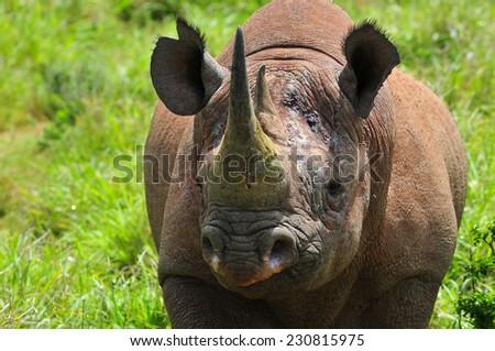 Black Rhino - stock photo