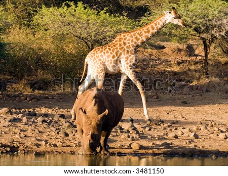 Black rhino and friends at the waterhole - stock photo