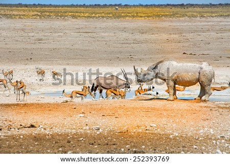 Black Rhino, Gemsbok Oryx and Springbok at a waterhole in Etosha - stock photo