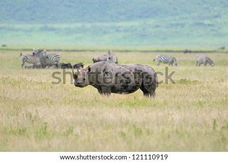 Black Rhino in Ngorongoro Crater in Tanzania - stock photo
