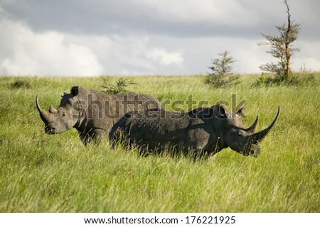 Black Rhino in the green grass of Lewa Wildlife Conservancy, North Kenya, Africa - stock photo
