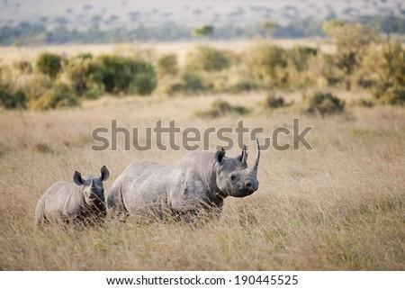 Black Rhino in the Masai Mara - stock photo
