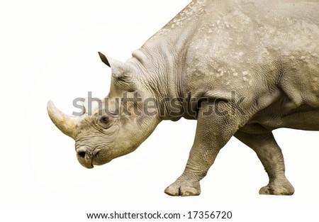 Black Rhino on a Stroll - stock photo